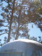 Overlander & Pine trees