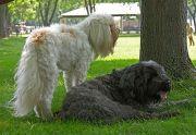 The Tibetan Terriers 2007