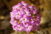 Anza Borrego Desert Flowers