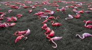 Bird Flu Affects Flamingos