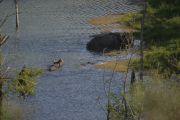 Rhinos In The Water