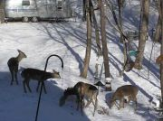 Five Deer in our Yard