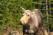 Maiden Voyage - Moose Bonanza!