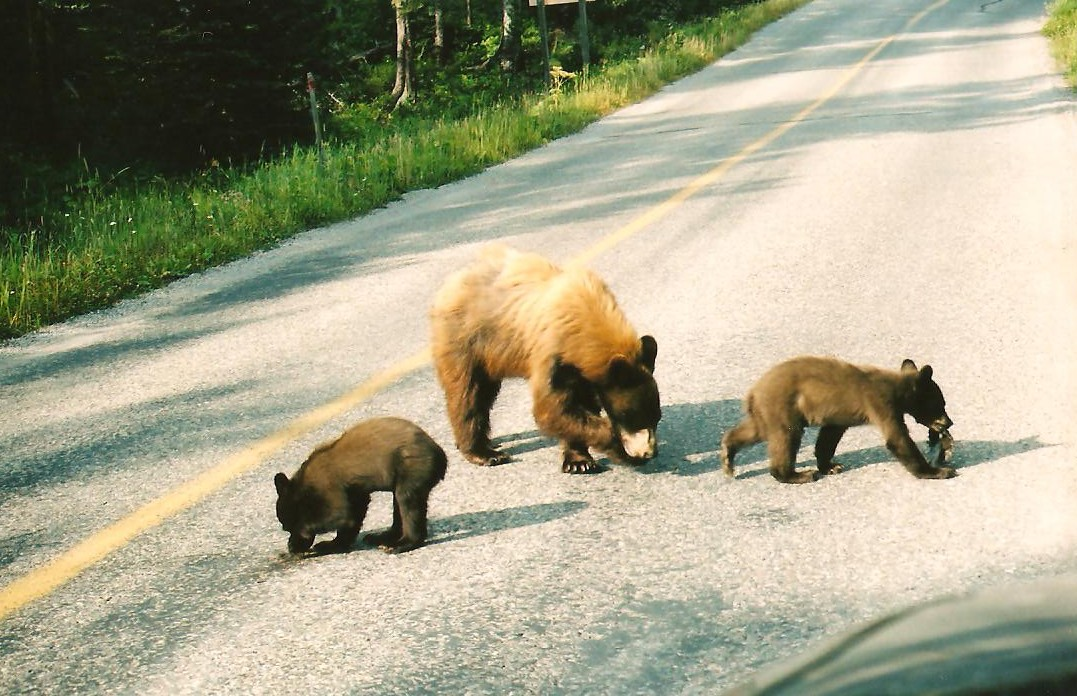 Click image for larger version  Name:bears 002.jpg Views:82 Size:224.4 KB ID:106234