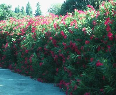 Click image for larger version  Name:Oleander.jpg Views:221 Size:54.6 KB ID:111661