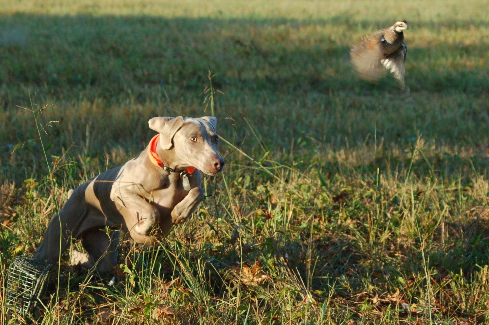 Click image for larger version  Name:Minna chasing quail.jpg Views:44 Size:319.0 KB ID:112414