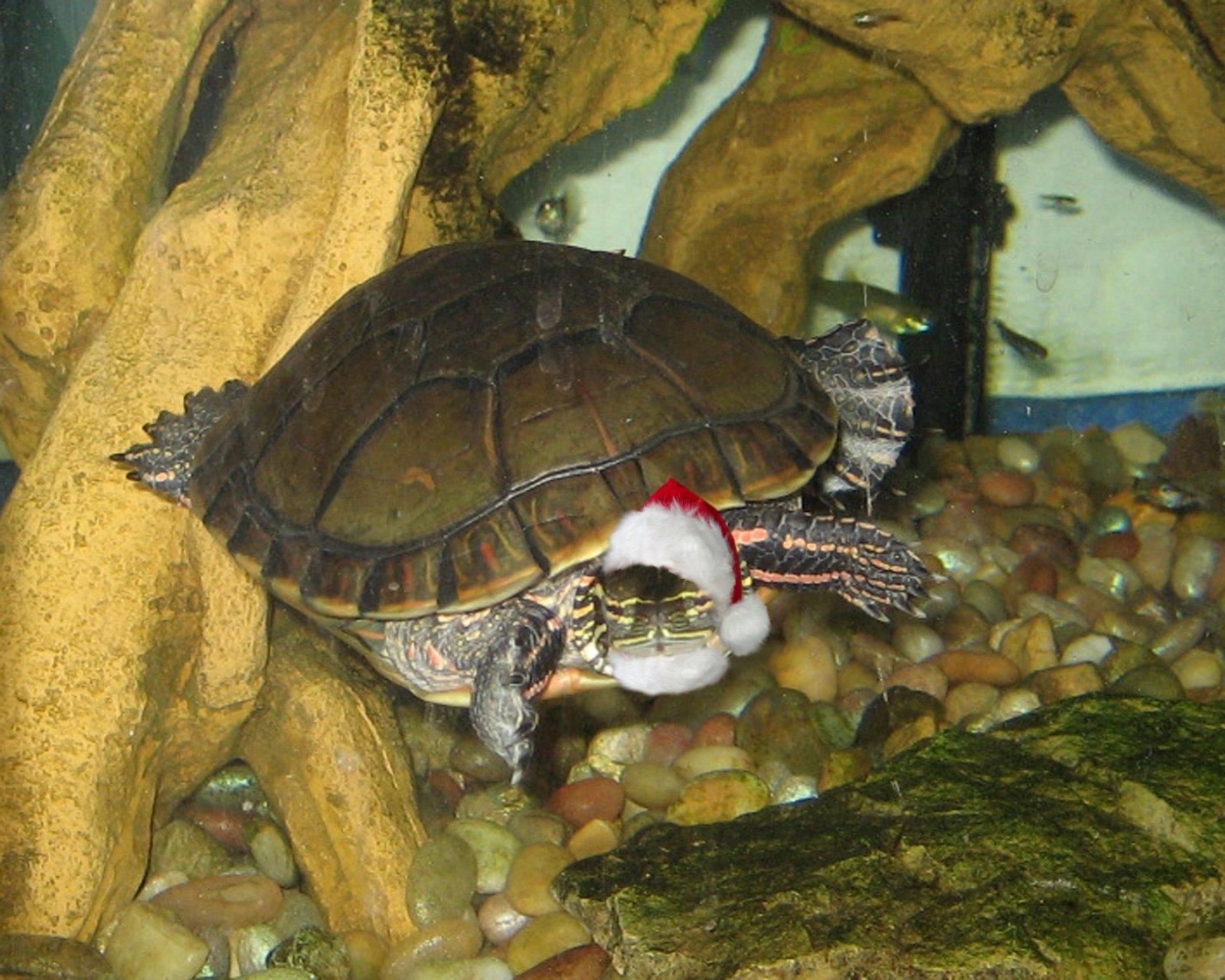 Click image for larger version  Name:turtlesanta.jpg Views:132 Size:331.0 KB ID:117770