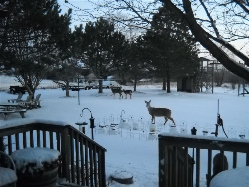 Click image for larger version  Name:deer jan 2011.jpg Views:195 Size:83.8 KB ID:119069