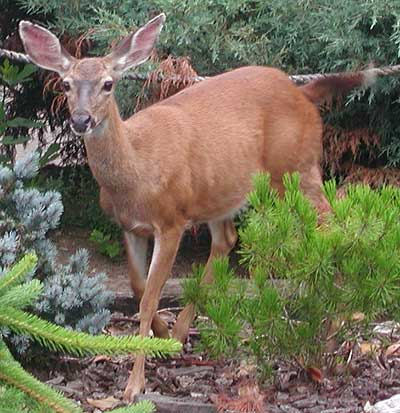 Click image for larger version  Name:Deer.jpg Views:125 Size:37.3 KB ID:12292