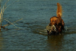 Click image for larger version  Name:Kenzie_Retrieve_Duck.jpg Views:135 Size:98.8 KB ID:13663