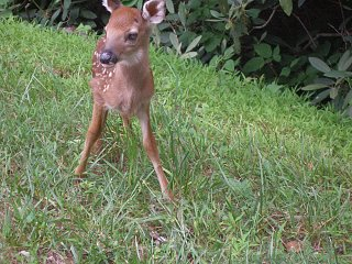 Click image for larger version  Name:Fawn at Julian Price BRP campground.jpg Views:125 Size:496.5 KB ID:138797