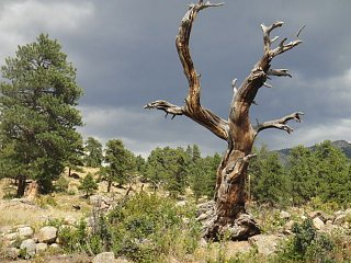 Click image for larger version  Name:RMNPdeadtree.jpg Views:81 Size:69.1 KB ID:139053