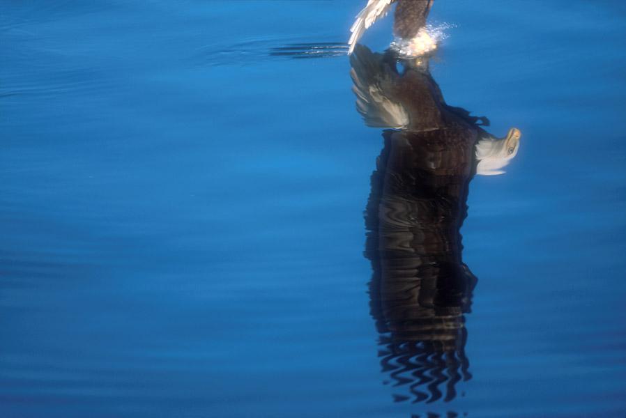 Click image for larger version  Name:Alaska photos Bald Eagles 003.jpg Views:113 Size:59.1 KB ID:150642