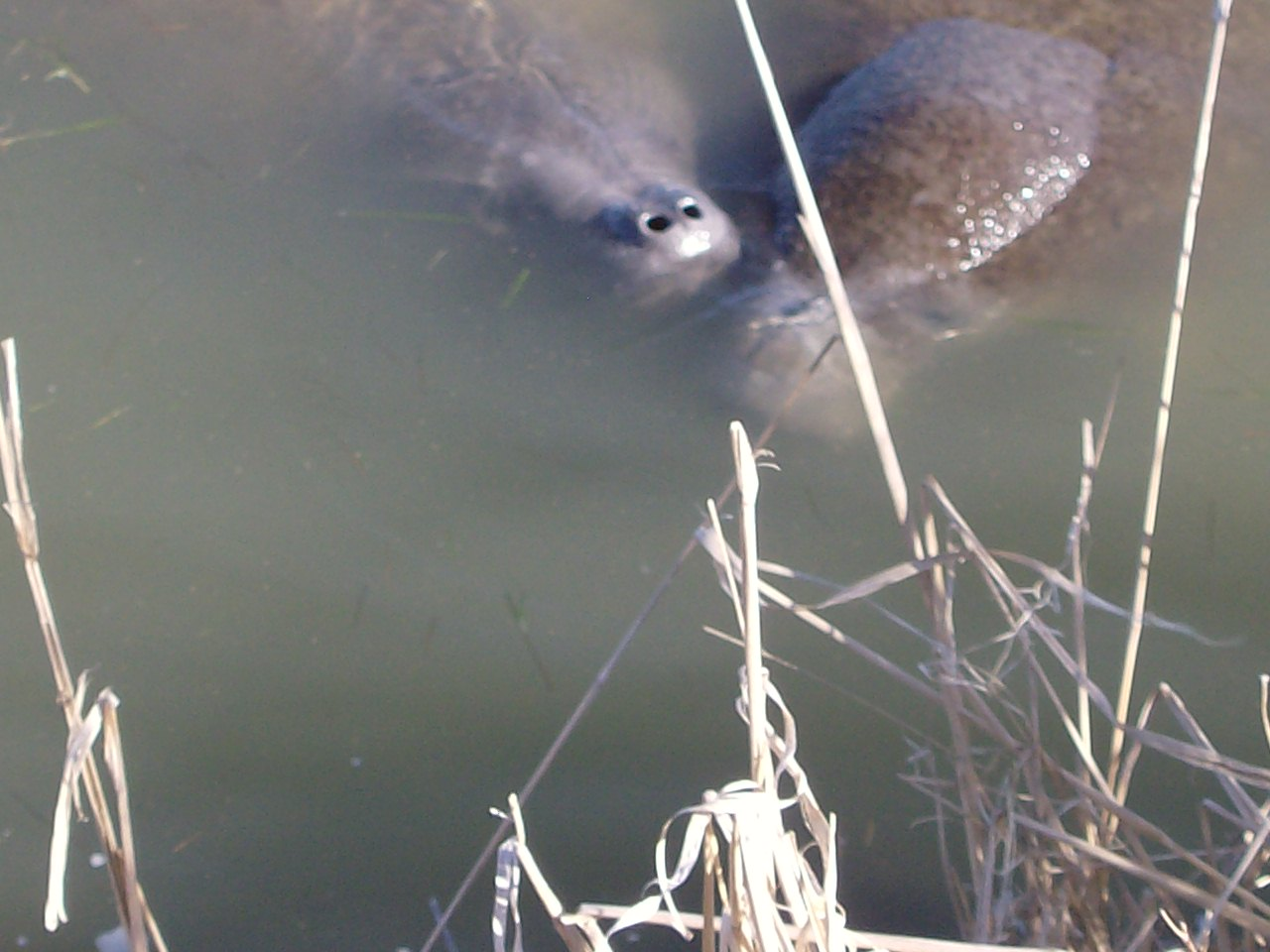 Click image for larger version  Name:Manatees 008.JPG Views:43 Size:172.5 KB ID:152643