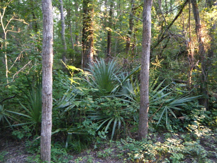 Click image for larger version  Name:Palmetto State Park 2.jpg Views:65 Size:407.8 KB ID:159576