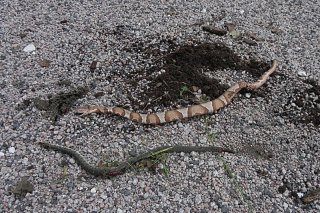 Click image for larger version  Name:Copperhead and Rat snakes.jpg Views:112 Size:194.9 KB ID:161217