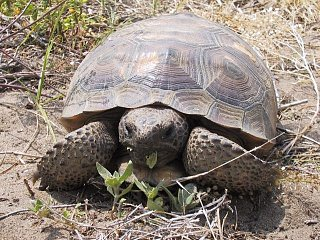 Click image for larger version  Name:Gopher-Tortoise.jpg Views:55 Size:260.3 KB ID:163658