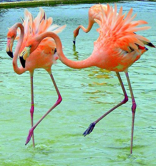 Click image for larger version  Name:Flamingo Dancing.jpg Views:49 Size:106.8 KB ID:164281