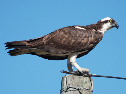 Click image for larger version  Name:osprey_1.jpg Views:74 Size:81.1 KB ID:173382