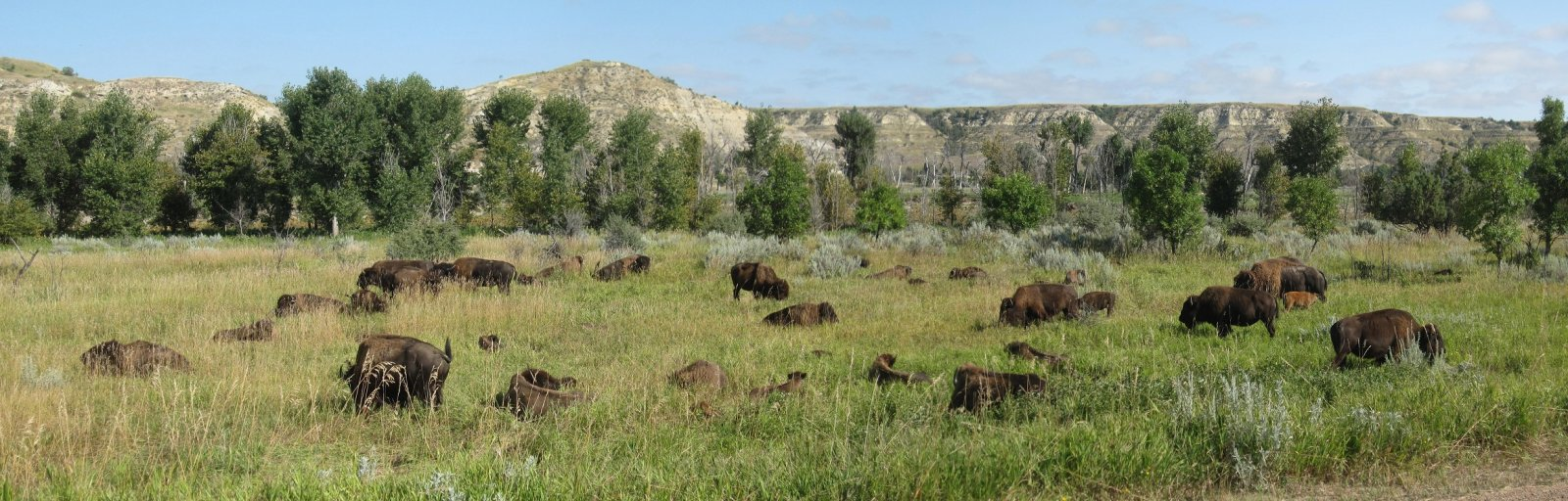 Click image for larger version  Name:TR Natl Park Buffalo Herd.jpg Views:101 Size:248.1 KB ID:177117