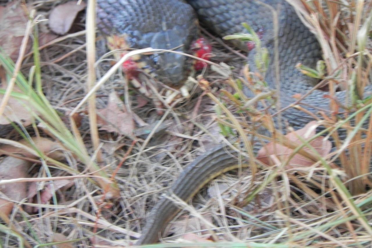 Click image for larger version  Name:snake 2.JPG Views:66 Size:296.9 KB ID:195269