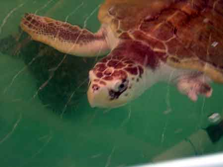 Click image for larger version  Name:sea turtle.jpg Views:145 Size:7.3 KB ID:1971