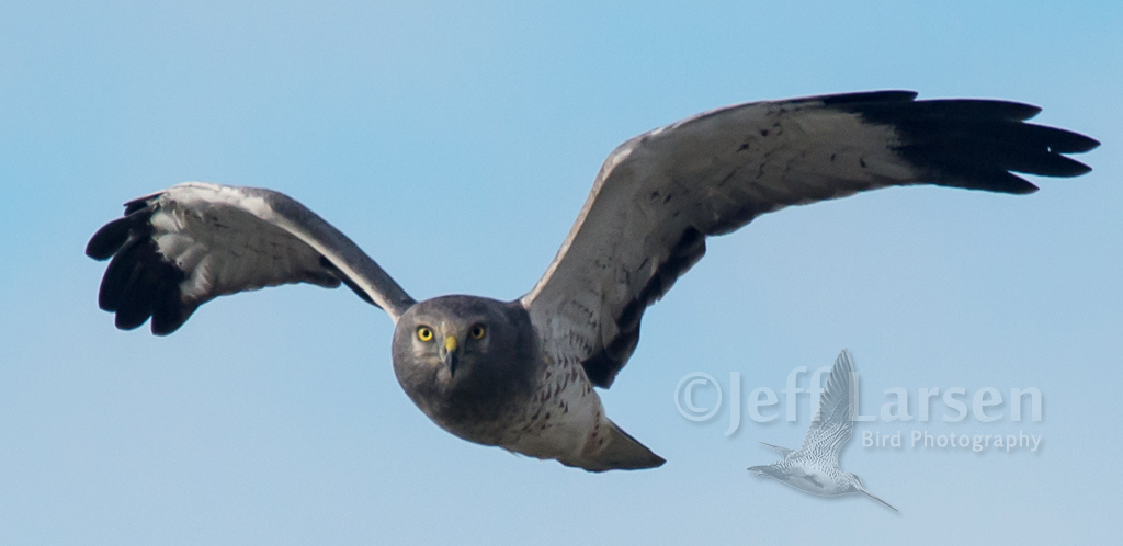 Click image for larger version  Name:northern harrier.jpg Views:140 Size:291.8 KB ID:198434
