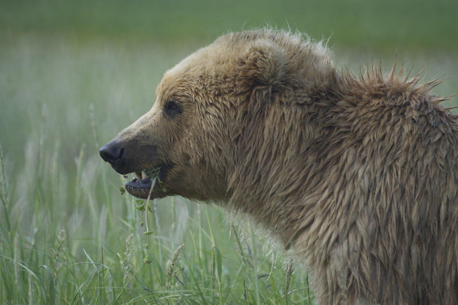 Click image for larger version  Name:Brown Bear, Hallo Bay, Katmai NP.jpg Views:48 Size:224.6 KB ID:199040