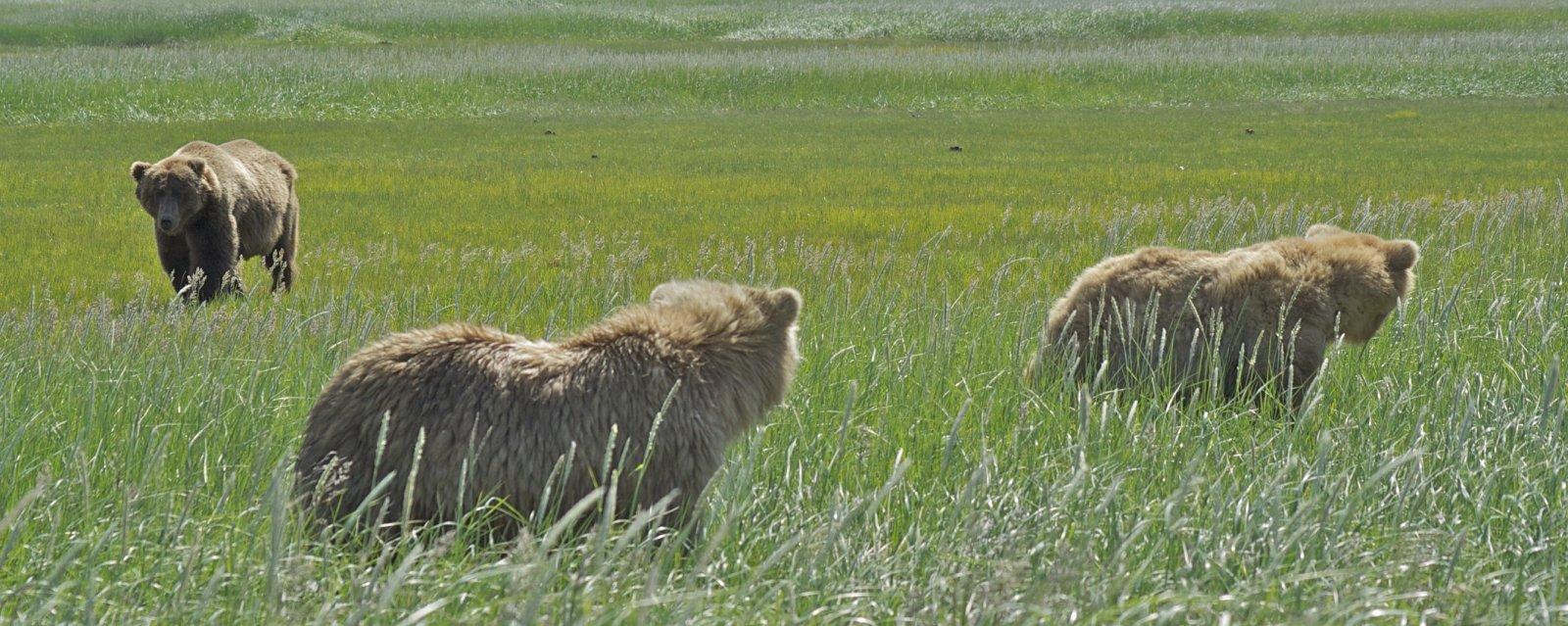 Click image for larger version  Name:Brown Bears, Hallo Bay, Katmai NP.jpg Views:48 Size:271.5 KB ID:199041