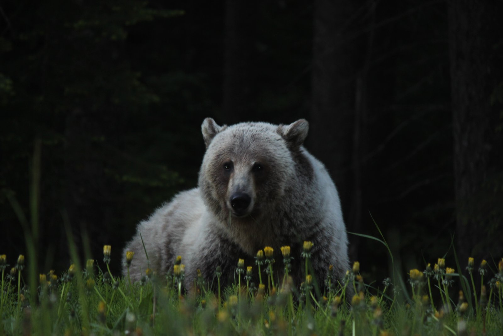 Click image for larger version  Name:Silvertip Grizzly.jpg Views:68 Size:128.4 KB ID:227097