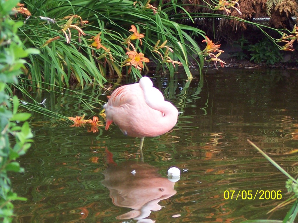 Click image for larger version  Name:Flamingo.JPG Views:85 Size:249.2 KB ID:23510