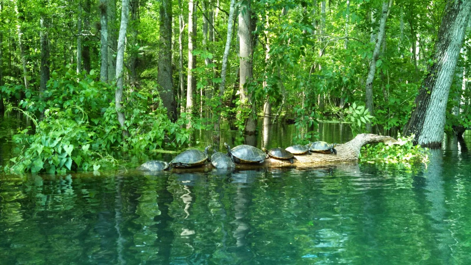 Click image for larger version  Name:Icheturtles2014.jpg Views:83 Size:413.7 KB ID:236821