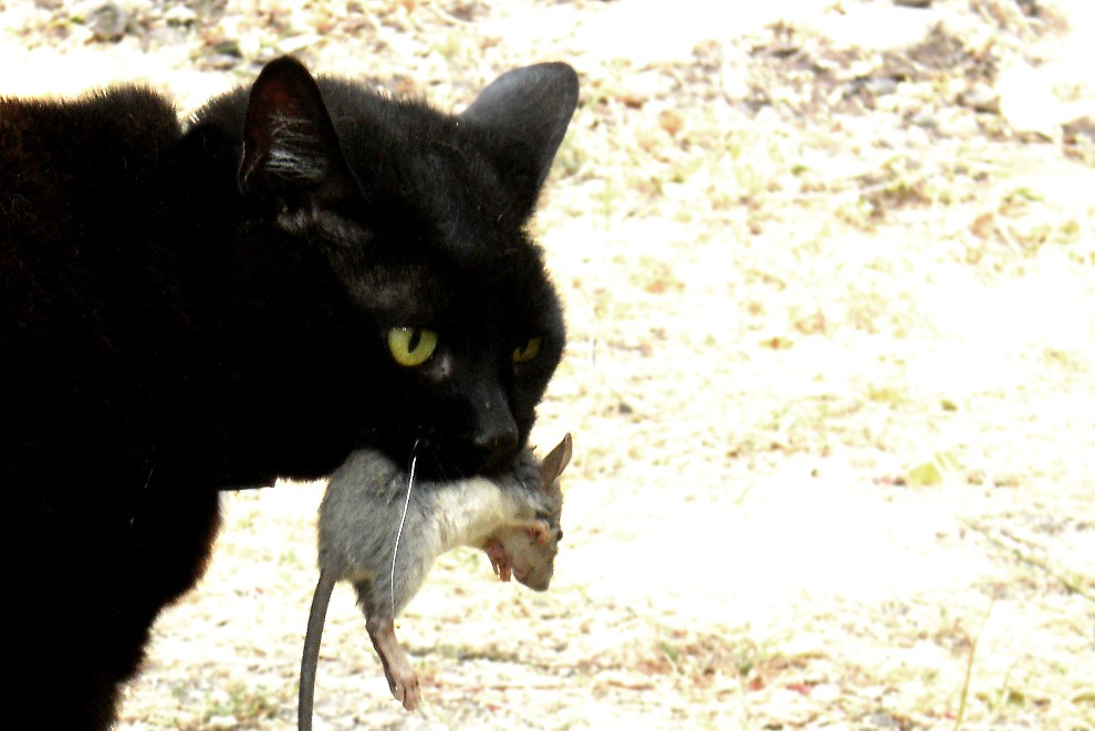 Click image for larger version  Name:Cat_with_mouse.jpg Views:107 Size:111.3 KB ID:247969