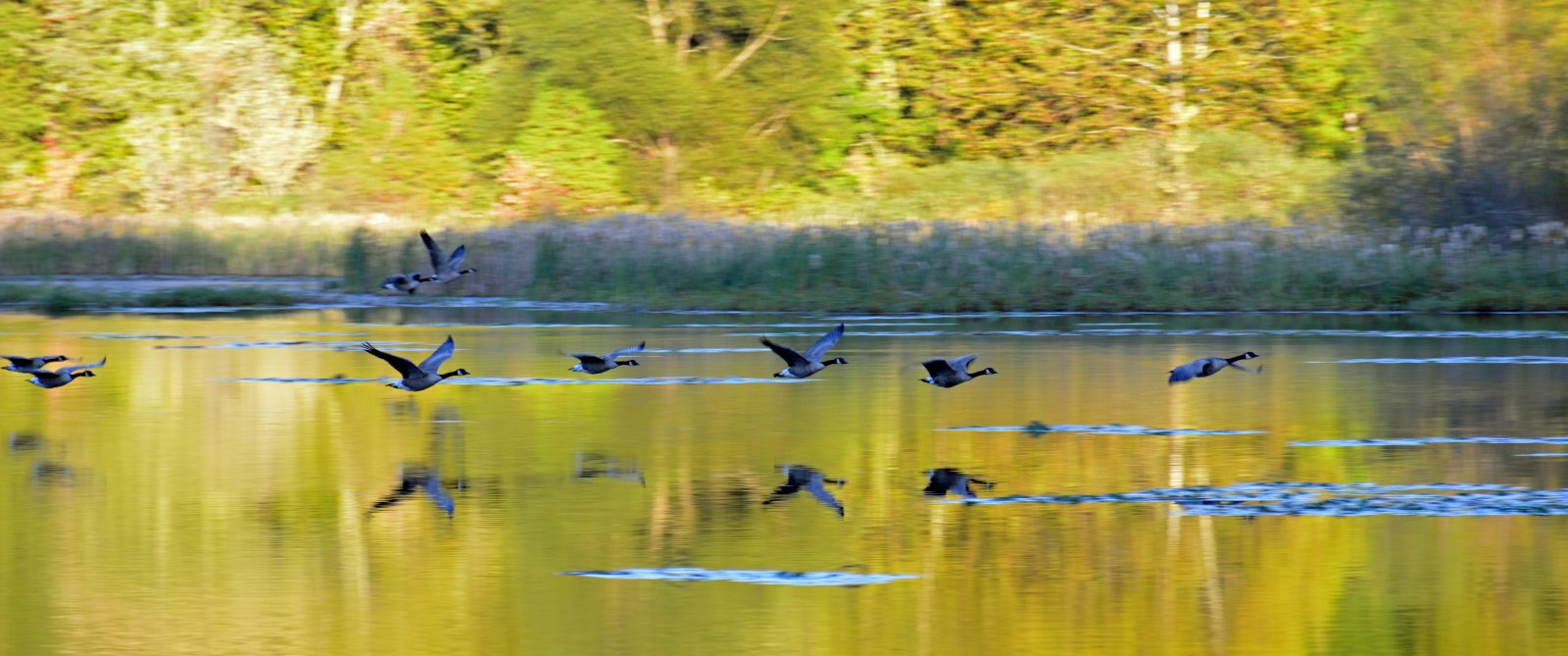 Click image for larger version  Name:Geese-s.jpg Views:164 Size:186.0 KB ID:249869