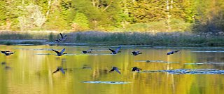 Click image for larger version  Name:Geese-s.jpg Views:185 Size:186.0 KB ID:249869