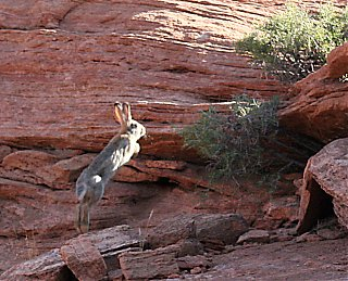 Click image for larger version  Name:IMG_6072 rabbit escaping-s.jpg Views:90 Size:262.6 KB ID:25231
