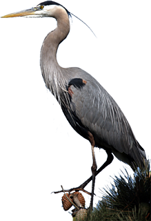 Click image for larger version  Name:Blue_heron_001.png Views:68 Size:192.1 KB ID:252344