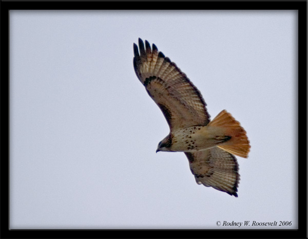 Click image for larger version  Name:Red tail in flight.jpg Views:71 Size:89.6 KB ID:29856