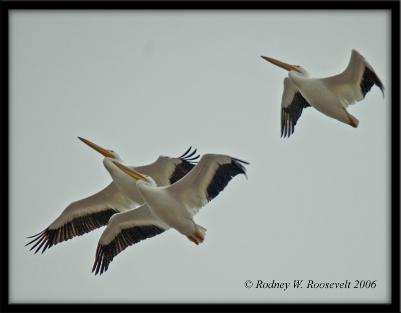 Click image for larger version  Name:Flight of the pelican.jpg Views:79 Size:252.0 KB ID:29869