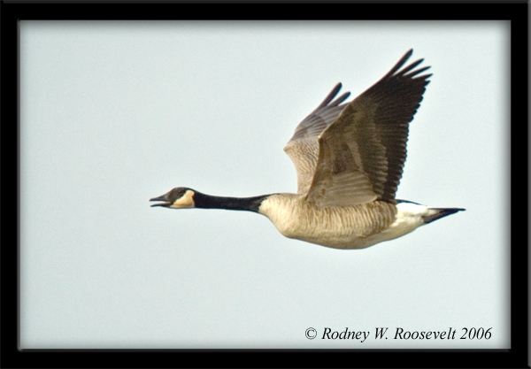 Click image for larger version  Name:Canada Goose.jpg Views:90 Size:157.3 KB ID:29897