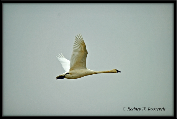 Click image for larger version  Name:Trumpeter Swan_edited-1.jpg Views:91 Size:147.5 KB ID:29898