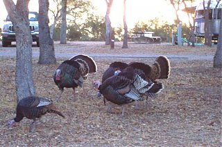 Click image for larger version  Name:turkeys paso robles.JPG Views:65 Size:47.9 KB ID:31759