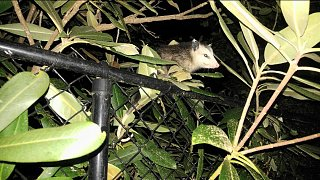 Click image for larger version  Name:Possum on Fence.jpg Views:54 Size:199.0 KB ID:318338