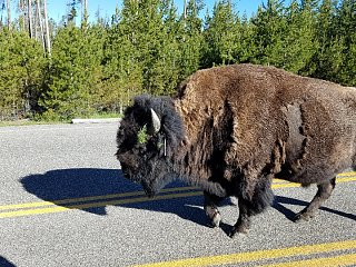 Click image for larger version  Name:buffalo in yellowstone.jpg Views:31 Size:282.8 KB ID:338879