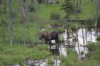 Click image for larger version  Name:Moose in Banff.jpg Views:30 Size:380.9 KB ID:338881