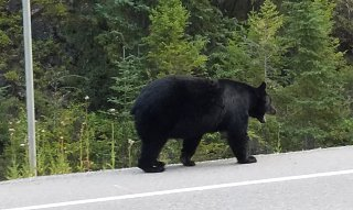 Click image for larger version  Name:bear on highway.jpg Views:30 Size:203.3 KB ID:338883