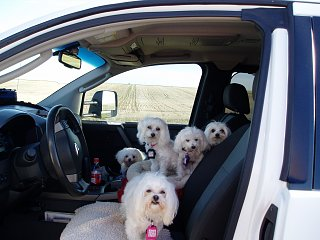 Click image for larger version  Name:P7300085-dogs-in-truck.jpg Views:102 Size:248.6 KB ID:342019