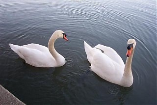 Click image for larger version  Name:swans3 (Small).jpg Views:81 Size:40.3 KB ID:35104
