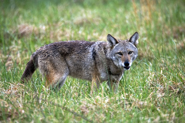 Click image for larger version  Name:coyote.jpg Views:78 Size:121.0 KB ID:35148