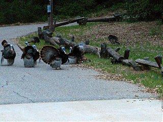 Click image for larger version  Name:HPIM0662 turkey courtship 8.jpg Views:168 Size:115.3 KB ID:36541